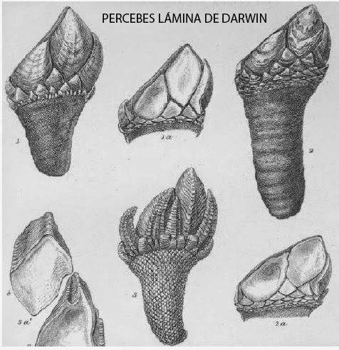 Lámina de Darwin sobre los percebes